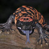 Gila Monster (Heloderma Suspectum), Captive Papier Photo par Michael Kern