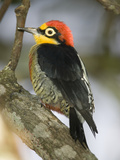Yellow-Fronted Woodpecker, Melanerpes Flavifrons, South America Photographic Print by Joe McDonald