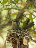 Broad-Billed Hummingbird (Cynanthus Latirostris) Sitting on its Nest Photographic Print by Joe McDonald