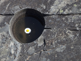 Flower Floating in a Pothole Formed by River Erosion in Macdonald Creek, Glacier National Park Photographic Print by Marli Miller