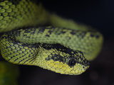 Yellow-Blotched Palm-Pitviper (Bothriechis Aurifer), Captive Photographic Print by Michael Kern