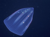 Comb Jelly (Beroe Forskalii) in Eastern Pacific Ocean Photographic Print by Michael Johnson