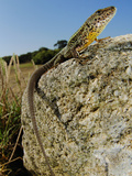 Male Lizard (Podarci Bocagei) on a Stone, Portugal Photographic Print by Fabio Pupin