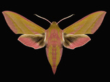 Elephant Hawk Moth (Deilephilelpenor Lewes) Has a Wingspan of 5-6 Cm Photographic Print by Jeffrey Miller