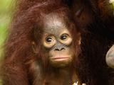 Borneo Orangutan Baby (Pongo Pygmaeus), Camp Leaky, Tanjung Puting National Park, Kalimantan Photographic Print by Thomas Marent