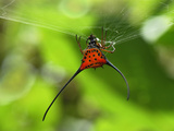 Orb-Web Spiny Spider (Gasteracantha Arcuata), Danum Valley Conservation Area, Sabah Photographic Print by Thomas Marent