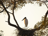 Jabiru Stork (Jabiru Mycteria), Brazil, South America Photographic Print by Joe McDonald