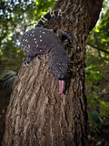 Guatemalan Beaded Lizard (Heloderma Horridum Charlesbogerti), Captive Photographic Print by Michael Kern
