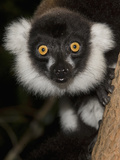 Black-And-White Ruffed Lemur (Varecia Variegata) in a Tree, Masai Mara, Kenya Photographic Print by Joe McDonald