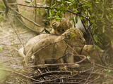 African Lion Cubs (Panthera Leo), Masai Mara, Kenya Photographic Print by Joe McDonald
