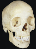 Human Skull from Front Prominent Features Include the Two Eye Sockets Photographic Print by Ralph Hutchings