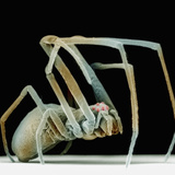 Lateral View of the Orchard Spider, Leucauge Venusta,, SEM Photographic Print by David Phillips