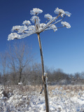 Ice Covered Plant Photographic Print by Robert Servranckx