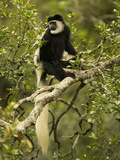 Black and White Colobus Monkey (Colobus Guereza) Sitting in a Tree, Masai Mara, Kenya Photographic Print by Joe McDonald