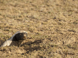Honey Badger or Ratel at Den Opening (Mellivora Capensis), Serengeti, Tanzania Photographic Print by Mary Ann McDonald