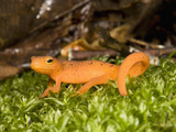 Eastern Newt (Notophthalmus Viridescens) in Spring Photographic Print by Joe McDonald