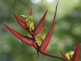 Heliconia Flowers (Heliconia Vaginalis), Belize Lmina fotogrfica por Thomas Marent