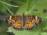 Pearl Crescent Butterfly (Phyciodes Tharos) Photographic Print by Robert Servranckx