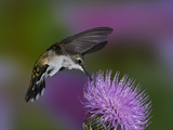 Ruby-Throated Hummingbird in Flight at Thistle Flower, Archilochus Colubris Photographie par Adam Jones