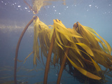 Bull Kelp (Nereocystis Luetkeana), Point Lobos State Park, Monterey County, California, USA Photographic Print by Richard Herrmann