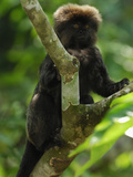 Goeldi's Marmoset (Callimico Goeldii), Amacayacu National Park, Colombia Photographic Print by Thomas Marent