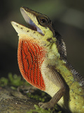 Anole Lizard Head with Open Mouth and Throat Pouch Extended (Anolis Notopholis) Photographic Print by Thomas Marent