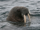 Walrus (Odobenus Rosmarus Rosmarus) Forage on the Sea Floor Photographic Print by Louise Murray