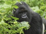 Silverback Mountain Gorilla (Gorilla Beringei Beringei), Volcanoes National Park, Rwanda Photographic Print by Thomas Marent