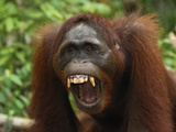 Borneo Orangutan Threat Behavior (Pongo Pygmaeus) Tanjung Puting National Park, Kalimantan Photographic Print by Thomas Marent