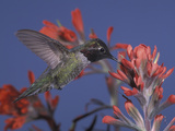 Male Anna's Hummingbird, Calypte Anna, Nectaring on Paintbrush Flowers, Western USA Photographic Print by Charles Melton