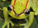 Treefrog Eyes (Hyla Rubracyla), San Cipriano Reserve, Cauca, Colombia Photographic Print by Thomas Marent