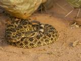 Mojave Rattlesnake (Crotalus Scutulatus Scutulatus) Photographic Print by Jack Milchanowski