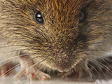 Bank Vole (Clethrionomys Glareolus) Photographic Print by Denis Palanque