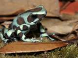 Green and Black Poison Dart Frog (Dendrobates Auratus), Captive Photographic Print by Michael Kern