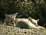 South American Gray Foxes Resting (Pseudalopex Griseus), Chile, South America Photographic Print by Joe McDonald