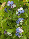 Wild Blueberries, Maine, USA Photographic Print by Garth McElroy