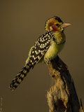Red and Yellow Barbet, Trachyphonus Erythrocephalus, Kenya, Africa Photographic Print by Joe McDonald