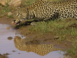 African Leopard (Panthera Pardus)Drinking at a Waterhole, Masai Mara, Kenya Photographic Print by Joe McDonald