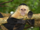 White-Throated Capuchin Head (Cebus Capucinus), Cahuita National Park, Costa Rica Photographic Print by Thomas Marent