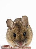 Wood Mouse (Apodemus Sylvaticus) Photographic Print by Denis Palanque