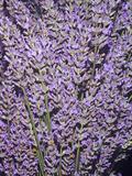 Fragrant Lavender Flowers (Lavandula Angustifolia), Native To The Mediterranean Region Photographic Print by Ken Lucas
