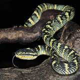 Wagler's Pit Viper (Tropidolaemus Wagleri), Captive Photographic Print by Michael Kern