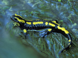 Fire Salamander Sitting on a Mossy, Wet Log (Salamandra Salamandra Terrestris), Switzerland Photographic Print by Thomas Marent
