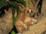 Slow Loris (Nycticebus Coucang), Thailand Photographic Print by Thomas Marent