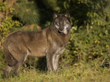 Gray Wolf (Canis Lupus) in Black Phase at Seacrest Wolf Preserve, Florida, USA Photographic Print by Jack Milchanowski