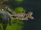 Southern Black-Knobbed Map Turtle (Graptemys Nigrinoda Delticola) Swimming Photographic Print by Joe McDonald