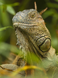 Iguana (Iguana Iguana), Costa Rica Photographic Print by Joe McDonald