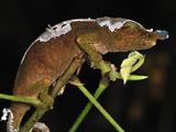 Boettger's or Blue-Nosed Chameleon (Calumma Boettgeri) Montagne D'Ambre Np, Antsiranana Photographic Print by Thomas Marent