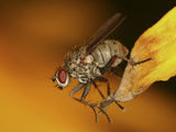Fly on a Leaf Photographic Print by Mark Plonsky