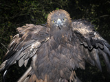 Golden Eagle (Aquila Chrysaetos), Captive Photographic Print by Michael Kern